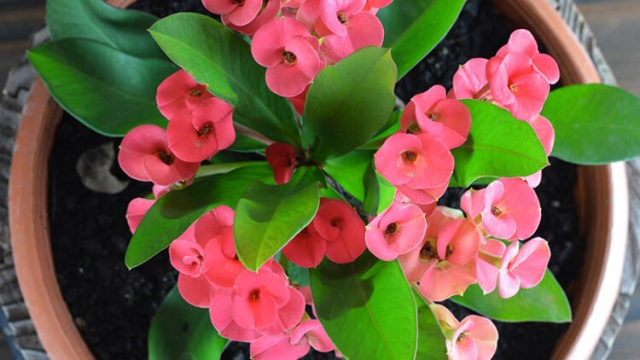6. Dikenler Tacı  Dikenler Tacı, oda sıcaklığına ve kuru ortamlara iyi uyum sağlar. Aydınlık ve güneşli ortamlarda çiçek açar. Oldukça dayanıklı olan bu çiçek, kışın -10 dereceye kadar dayanabilir.  Yenilmesi halinde insanlar ve hayvanları zehirleyebilir. Dikenli olduğundan bakım yaparken eldiven kullanmaya çalışın.