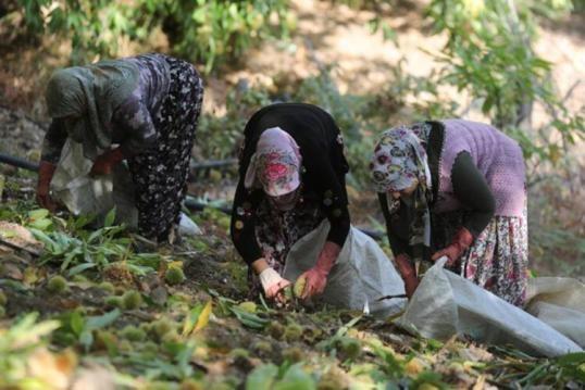 Türkiye'nin Avrupa Birliği tarafından coğrafi işaret tescili verilen son ürünü olan Aydın kestanesinde, yarım asırlık ağaçlarda zorlu hasat dönemi başladı. Yüksek kesimlerde yer alan çoğu yarım asırlık ağaçlara tırmanan işçiler, hayli zor ve tehlikeli bir çalışma yürütüyor.