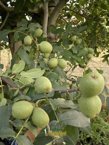 Ceviz ağacı yaprakları, selülit tedavisinden bağırsak kurtlarını dökmeye kadar birçok derde deva! Ceviz yaprağı cilde faydaları olan bir bitkidir ve bu amaçla kullanımı yaygındır. Farklı alanlarda şifalı olan ve ülkemizde sıklıkla kullanılan ceviz yaprağının öne çıkan faydalarını şöyle sıralayabiliriz:
