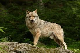 Avcılar, ormanda bir kurdu fena halde sıkıştırırlar, neredeyse kaçacak yeri kalmamıştır,canını kurtarmak için deli gibi koşarken yol kenarında yürüyerek tarlasına giden bir köylüye rastlar, önüne çöker ve yalvararak,Ey insanoğlu, ne olur bana yardım et, peşimdeki avcılardan kaçacak yerim kalmadı.Sen yardım etmezsen biraz sonra yakalayıp öldürecekler.