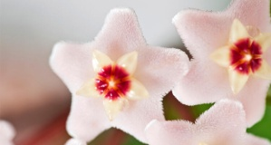 Rahatsız etmeden güzel koku veren 6 ev bitkisi - Evde güzel kokan çiçekler nelerdir?